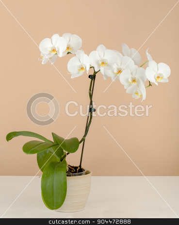 romantic branch of white orchid on beige background stock photo, romantic branch of white orchid on beige background by Artush