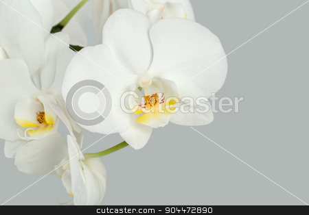 Branch of white orchid on grey background stock photo, Branch of white orchid in pot on grey background by Artush