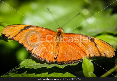 Julia Heliconian Dryas Julia stock photo, A colorful Julia Heliconian Dryas Julia butterfly. by Henrik Lehnerer