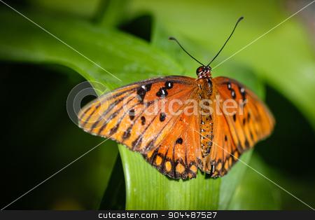 Queen Danaus Gilippus stock photo, A colorful Queen Danaus Gilippus butterfly. by Henrik Lehnerer