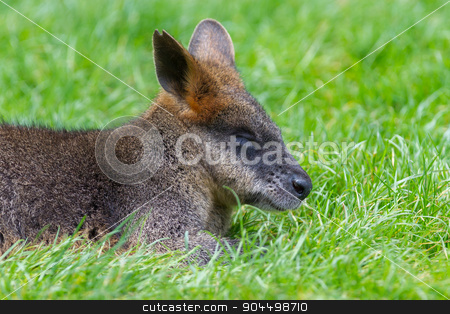 Kangaroo: Wallaby close-up portrait stock photo, Kangaroo: Wallaby close-up portrait, eating in peace by michaklootwijk