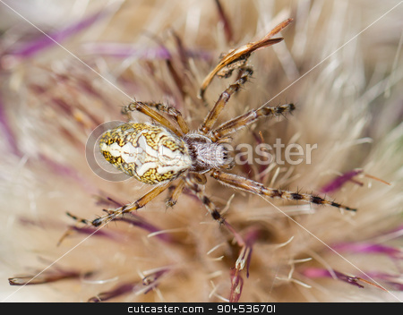 Small spider hiding in a flower stock photo, Small spider hiding in a flower, Switserland, selective focus by michaklootwijk