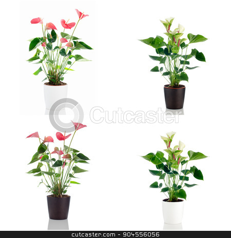 Anthedesia anthurium stock photo, Beautiful Anthedesia anthurium with red, pink and green flowers in flowerpot on white background. by Homydesign