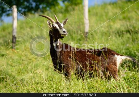 Italian Goats grazing freely stock photo, In the picture a dairy goats grazing freely in the Italian alps, Seriana Valley(Bergamo). by Robertobinetti70