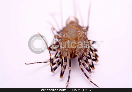 Scutigera smithii Newport (long-legged house centipede) on a white background. stock photo, Scutigera smithii Newport (long-legged house centipede) on a white background. by photomyheart