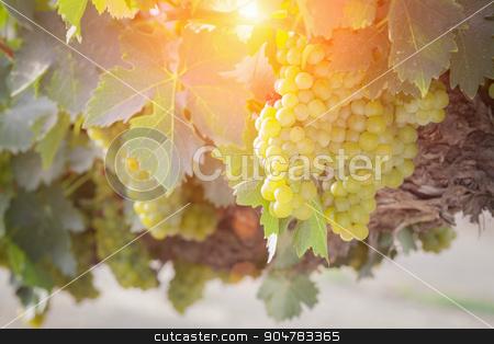 Lush White Grape Bushels Vineyard in The Afternoon Sun stock photo, Beautiful Lush White Grape Bushels Vineyard in The Afternoon Sun. by Andy Dean
