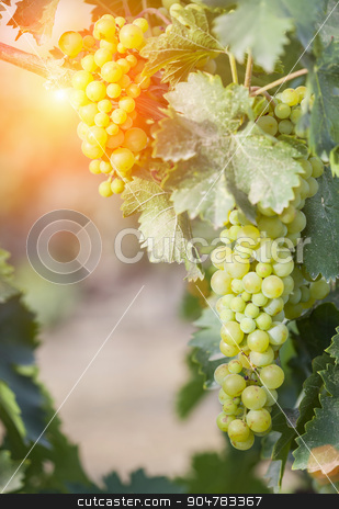 Lush White Grape Bushels Vineyard in The Afternoon Sun stock photo, Beautiful Lush White Grape Bushels Vineyard in The Afternoon Sun. by Andy Dean