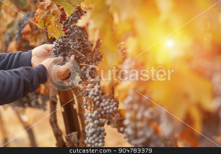 Farmer Inspecting His Wine Grapes In Vineyard stock photo, Farmer Inspecting His Wine Grapes In The Afternoon Sun. by Andy Dean