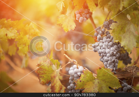 Lush, Ripe Wine Grapes with Mist Drops on the Vine stock photo, Lush, Ripe Wine Grapes with Mist Drops on the Vine Ready for Harvest. by Andy Dean