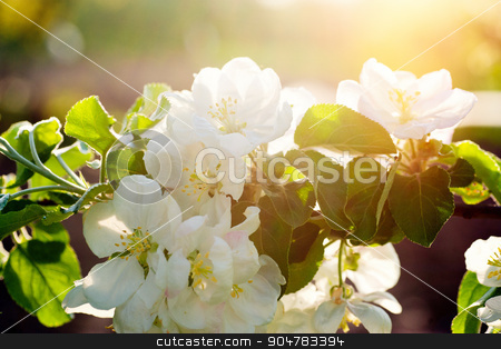 Blooming apple tree in spring time in garden stock photo, Blooming apple tree in spring time in garden. by timonko