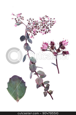 Bertram Anderson stock photo, Sedum cauticola with details of leaf and bloom against white background. by richpav