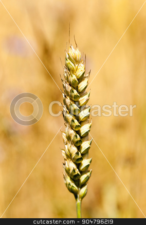 mature cereal  close-up   stock photo,  photographed close-up of yellowed ripe ears of cereal by ihar leichonak