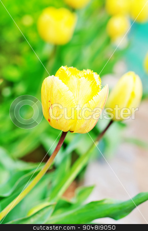yellow tulips stock photo, yellow tulips by tycoon