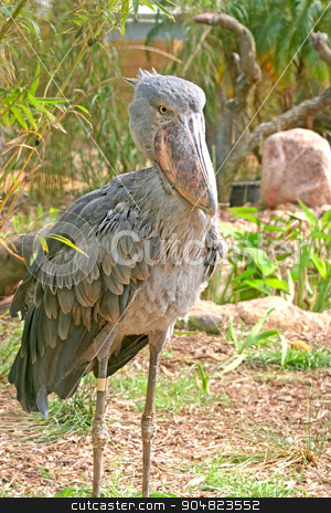 Shoebill Stork stock photo, An older looking Shoebill Stork standing up by Lucy Clark