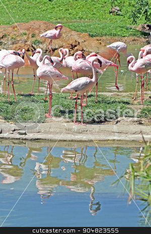 Flamingos stock photo, A group of flamingos with their reflection in the water by Lucy Clark