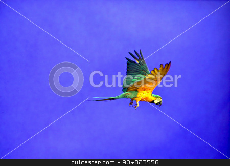 Flying Parrot stock photo, A macaw parrot flying with blue background by Lucy Clark