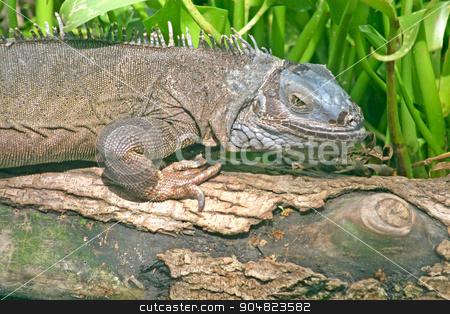Iguana stock photo, An iguana sitting on a tree with grass behind by Lucy Clark