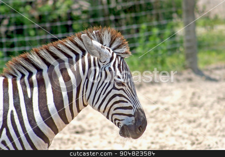 Zebra stock photo, The head and neck of a zebra by Lucy Clark