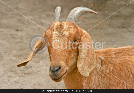 Goat stock photo, A brown goat with horns and floppy ears by Lucy Clark