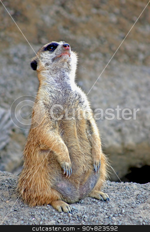 Meerkat stock photo, A meerkat standing on dirt and looking up by Lucy Clark