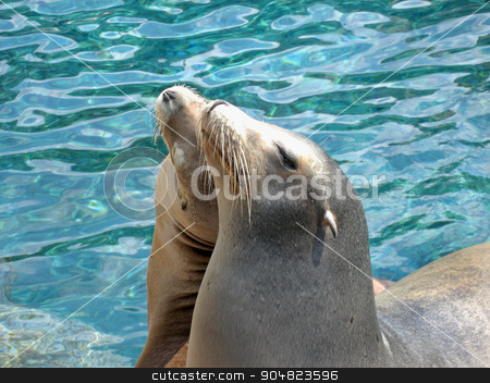 Sealions stock photo, Two sealions together with water behind by Lucy Clark