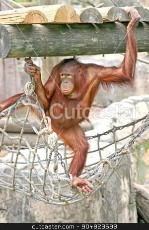 Orangutan stock photo, An orangutan standing on rope and holding onto the wood above by Lucy Clark