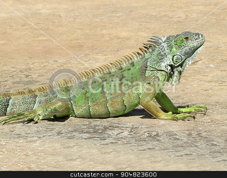 Iguana stock photo, A green iguana on the concrete ground by Lucy Clark