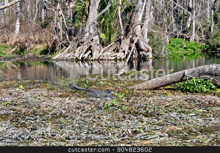 Alligator in Swamp stock photo, An alligator swimming through the waters of a swamp by Lucy Clark