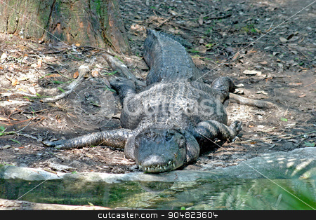 Alligator stock photo, A large alligator sitting on the bank by Lucy Clark