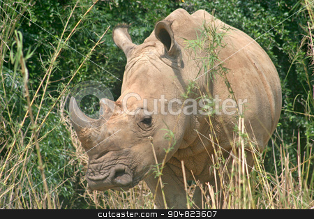 Rhino stock photo, A rhino standing in amongst the vegetation by Lucy Clark