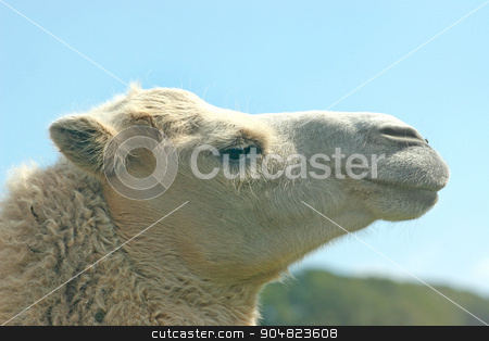 Camel stock photo, The head of a camel with blue sky by Lucy Clark