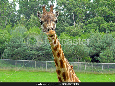 Giraffe stock photo, A giraffe head and neck with trees behind by Lucy Clark
