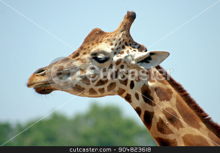 Giraffe stock photo, The head and neck of a giraffe by Lucy Clark