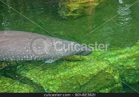 Manatee stock photo, A manatee is swimming through the water by Lucy Clark