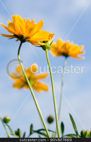 Yellow flowers stock photo, Daisy flowers. Yellow flowers against blue sky by aoo3771