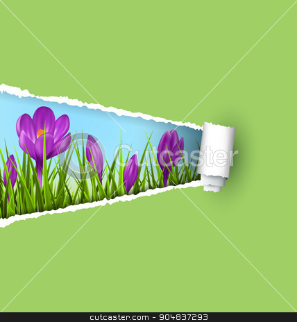 Green grass lawn with violet crocuses and ripped paper sheet iso stock photo, Green grass lawn with violet crocuses and ripped paper sheet isolated on green. Floral nature spring background by Makkuro_GL