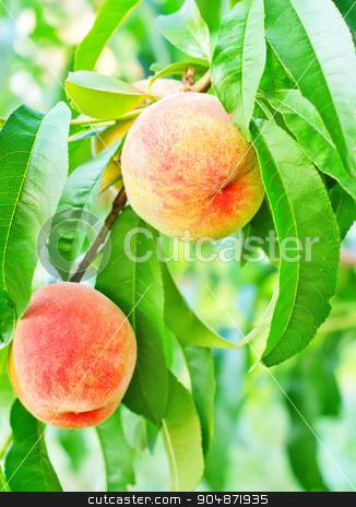 peach on tree stock photo, peach on tree by tycoon