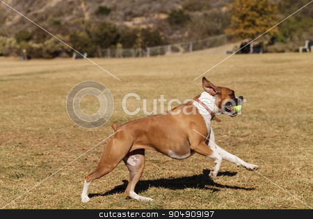 Boxer mix dog  stock photo, Boxer mix dog playing at a dog park in summer. by Stephanie Starr