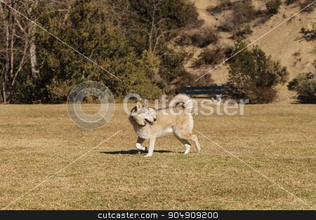 Elderly husky mix dog stock photo, Elderly husky mix dog playing at a dog park by Stephanie Starr