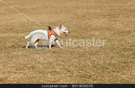 Elderly Jack Russell dog stock photo, Elderly Jack Russell dog walking at a dog park in summer by Stephanie Starr