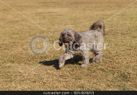 Poodle mix dog stock photo, Poodle mix dog playing at a dog park in summer by Stephanie Starr
