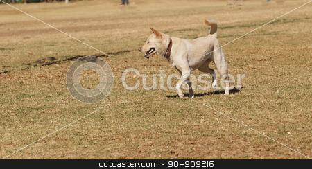 Elderly yellow Labrador mix dog  stock photo, Elderly yellow Labrador mix dog playing at a dog park in summer by Stephanie Starr