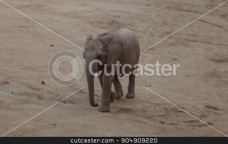 Elephant, Loxodonta Africana stock photo, Elephant, Loxodonta Africana, behavior indicates a keen intelligence and awareness among these animals. by Stephanie Starr
