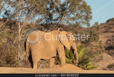 Elephant, Loxodonta Africana stock photo, Elephant, Loxodonta Africana, behavior indicates a keen intelligence and awareness among these animals. by Stephanie Starr
