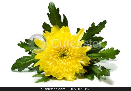 chrysanthemum on a white background stock photo, The photograph shows a chrysanthemum on a white background by AlexBush