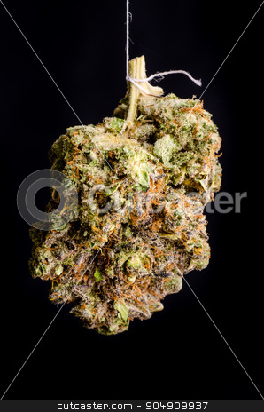 Primus OG stock photo, Medical Marijuana shot in Denver, strain is Primus OG by Daniel Stewart
