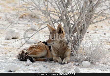 black-backed jackal Etosha stock photo, black-backed jackal (Canis mesomelas) lying in Etosha park, Oshana, Namibia, True Wildlife by Artush