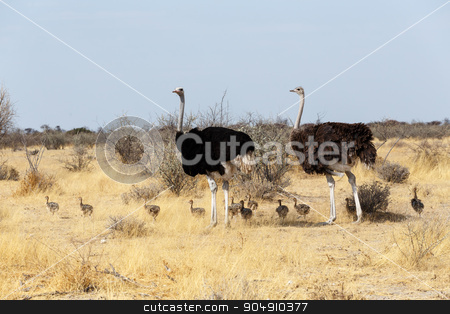 Family of Ostrich with chickens, Namibia stock photo, Family of Ostrich with chicken, Struthio camelus, in Etosha Park, Oshana Namibia, South Africa, true wildlife photography by Artush