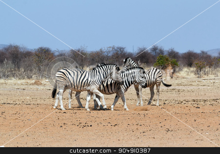 Zebra in african bush stock photo, Zebra in african bush. Etosha national Park, Ombika, Kunene, Namibia. Wildlife. by Artush