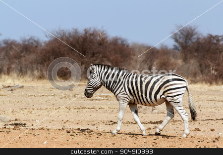 Zebra in african bush stock photo, Zebra in african bush. Etosha national Park, Ombika, Kunene, Namibia. Wildlife. by Artush